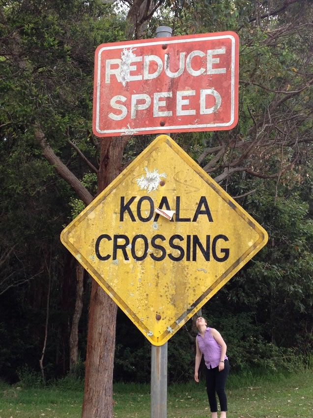 Koalas crossing