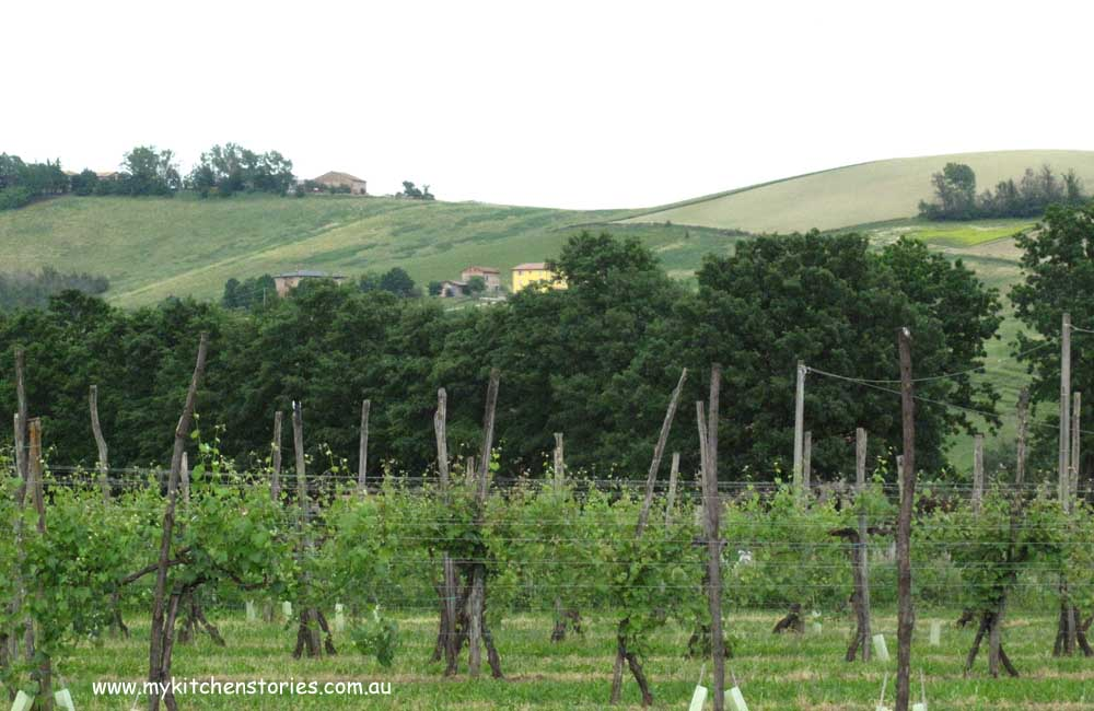 Trebbiano grapes growing in Modena