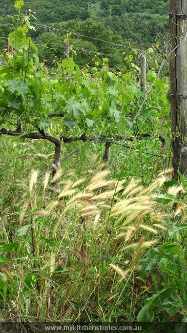 This is wheat growing between the vines to control water and soil temperature