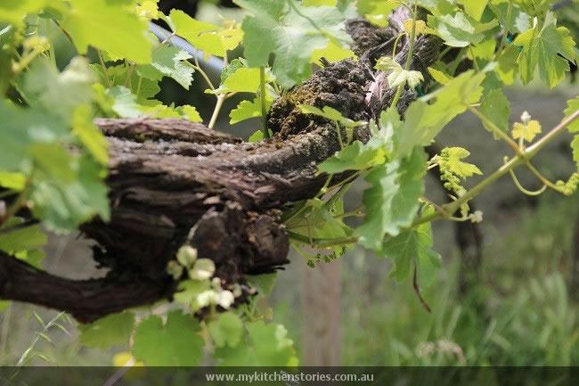 Paterna vines