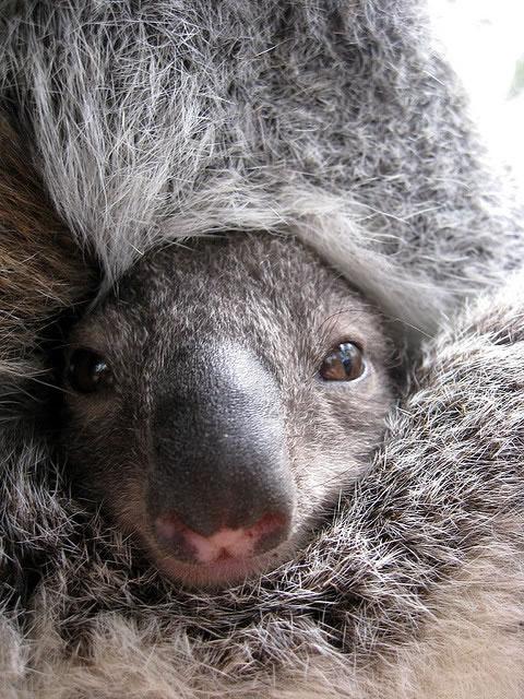 Baby-Koala by Photo by Sam Carroll