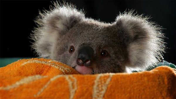 Rescued baby Koala by cutestlife.com
