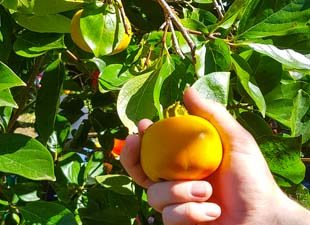 Picking Persimmons in Bilpin
