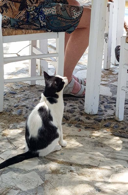 A cat begging for food in Greece