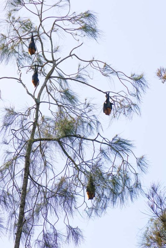Flying Foxes at Kooloongbung creek